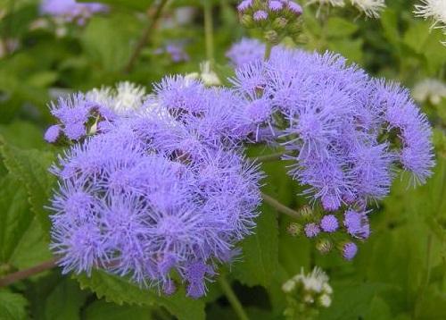 紫フジバカマ